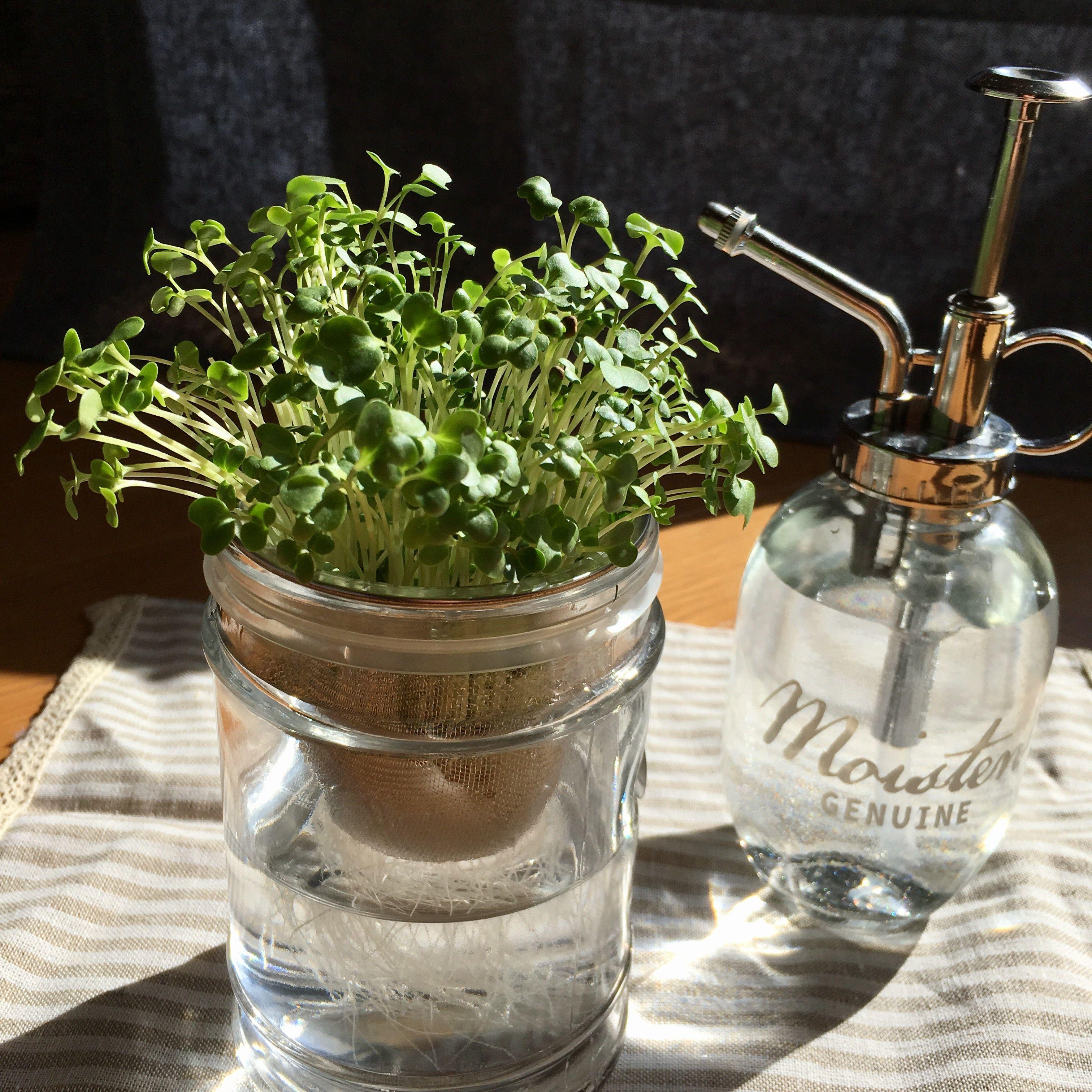 野菜ソムリエ的、スプラウトの正しい育て方