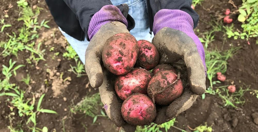ジャガイモは、袋やプランターで栽培しても収穫できるか?!