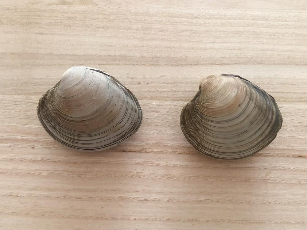 開か ホンビノス ない 貝