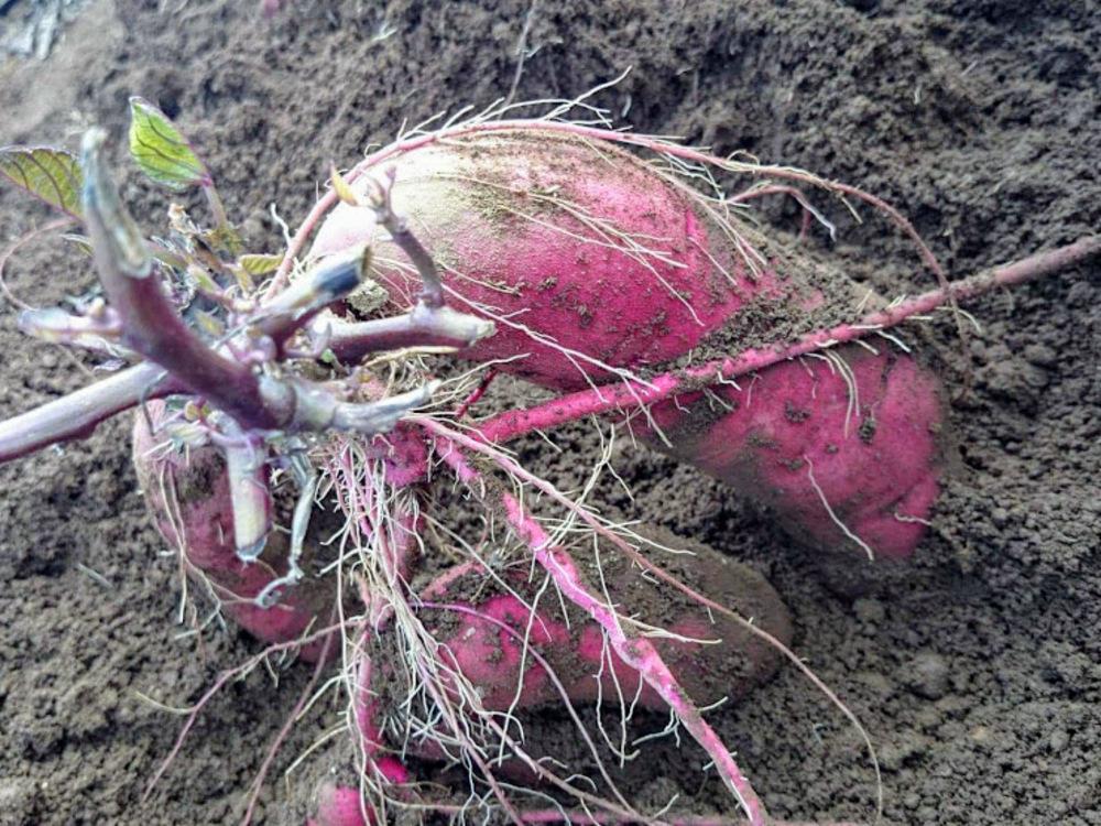 サツマイモと米でつくる謎の発酵飲料「ミキ」づくりに挑戦!