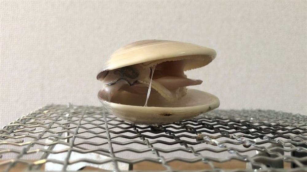ハマグリの上下は熱の当て方で決まる?!貝の焼き方と塩抜き研究